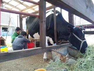 110417乳搾り.jpg
