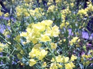 110514菜の花.jpg