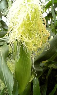 corn090803.jpg