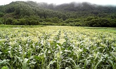 cornfarm090803.jpg